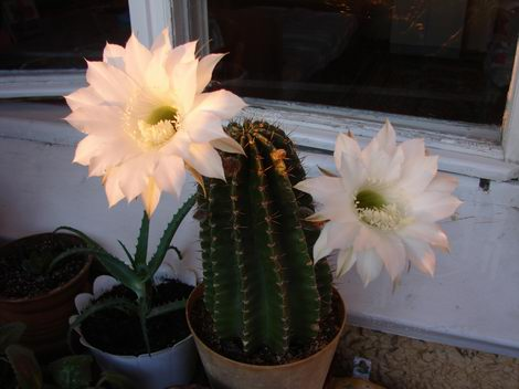 Цветы кактуса пахнут